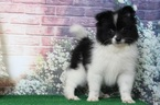 Pomeranian Puppy For Sale in BEL AIR, Maryland,