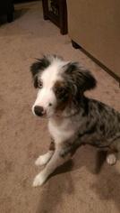 Australian Shepherd Puppy for sale in SUMMERVILLE, SC, USA