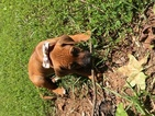 Rhodesian Ridgeback Puppy For Sale in MARIETTA, GA, USA