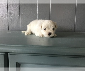 Maltese Puppy for Sale in FRANKTON, Indiana USA