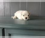 Puppy 0 Maltese