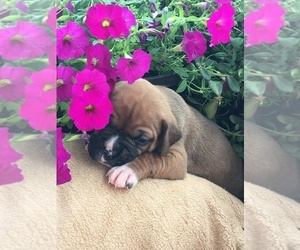 Boxer Puppy for sale in HAWKINSVILLE, GA, USA