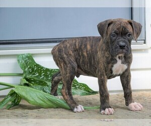 Boxer Puppy for sale in FREDERICKSBG, OH, USA