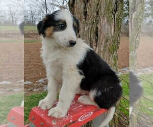 English Shepherd Puppy for sale in FREDERICKSBRG, PA, USA