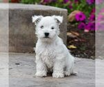Puppy 5 West Highland White Terrier