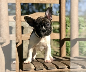 French Bulldog Puppy for Sale in RAYNE, Louisiana USA