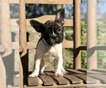 Image preview for Ad Listing. Nickname: French Bulldog
