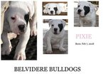 American Bulldog Puppy For Sale in BELVIDERE, Tennessee,