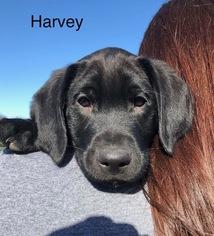 Labrador Retriever Puppy For Sale in TECUMSEH, MI, USA