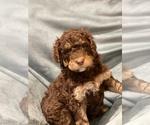 Puppy 3 Bernedoodle-Poodle (Standard) Mix
