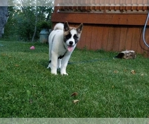 Akita Puppy for sale in LENA, WI, USA