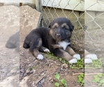Small #1 Australian Shepherd-German Shepherd Dog Mix