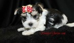 Morkie Puppy For Sale in POWDERLY, TX, USA