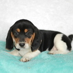 Beagle Puppy For Sale in GAP, PA, USA
