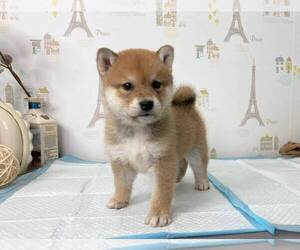 Shiba Inu Puppy for sale in TEMPLE CITY, CA, USA