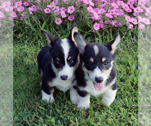 Pembroke Welsh Corgi Puppy for Sale in SPRINGFIELD, Missouri USA