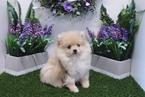 Pomeranian Puppy For Sale in LAS VEGAS, Nevada,