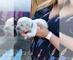 AKC English Cream Puppies CH Sired in Salem OR