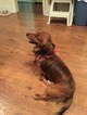 Dachshund Puppy For Sale in LANSING, MI, USA
