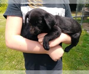 Labrador Retriever Dogs for adoption in BELLEVUE, MI, USA