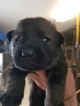 German Shepherd Dog Puppy For Sale in CONGERS, NY, USA