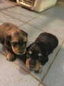 Dachshund Puppy For Sale in PENSACOLA, Florida,