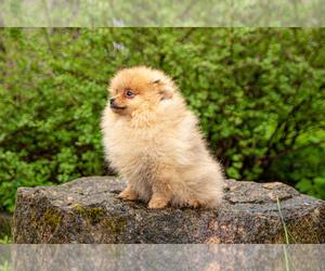 Pomeranian Puppy for sale in DES PLAINES, IL, USA
