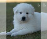 Small German Shepherd Dog