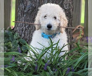 Goldendoodle-Poodle (Miniature) Mix Puppy for sale in ZEBULON, NC, USA