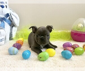 French Bulldog Puppy for Sale in LILBURN, Georgia USA