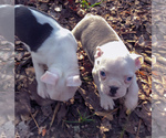 Small #8 Boston Terrier