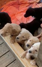 Labrador Retriever Puppy for sale in MONETA, VA, USA