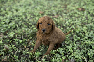 View Ad Goldendoodle Puppy For Sale Tennessee Nashville Usa
