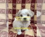 Puppy 1 Mal-Shi-Shih Tzu Mix