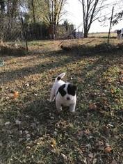 Akita Puppy For Sale in BELLE PLAINE, KS