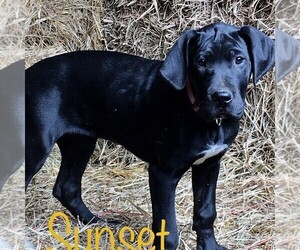 Great Dane Puppy for Sale in YELLVILLE, Arkansas USA