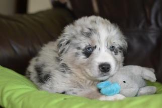 View Ad Australian Shepherd Puppy For Sale North Carolina