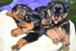 Rottweiler Puppy For Sale in QUARRYVILLE, PA