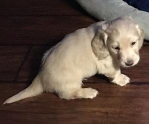 Dachshund Puppy for sale in SPRINGDALE, AR, USA
