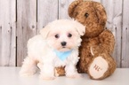 Maltese Puppy For Sale in MOUNT VERNON, OH