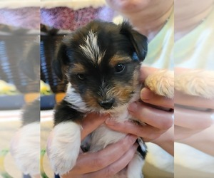 Yorkshire Terrier Puppy for sale in CLACKAMAS, OR, USA