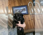 Small #5 Dutch Shepherd Dog