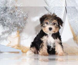 Yo-Chon Dog for Adoption in BEL AIR, Maryland USA