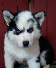 Siberian Husky Puppy For Sale in DITTMER, MO