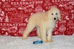 Poodle (Standard) Puppy For Sale in CANYON LAKE, TX, USA
