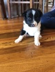 Small #3 Border Collie