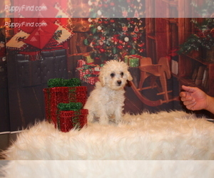 Poodle (Miniature) Puppy for Sale in SIERRA VISTA, Arizona USA