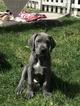 Puppy 1 Great Dane