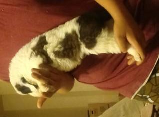 Saint Bernard Puppy For Sale in DESERT HOT SPRINGS, CA, USA