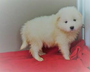Samoyed For Sale >> View Ad Samoyed Puppy For Sale Near Ohio Fredericksbg Usa Adn 111265